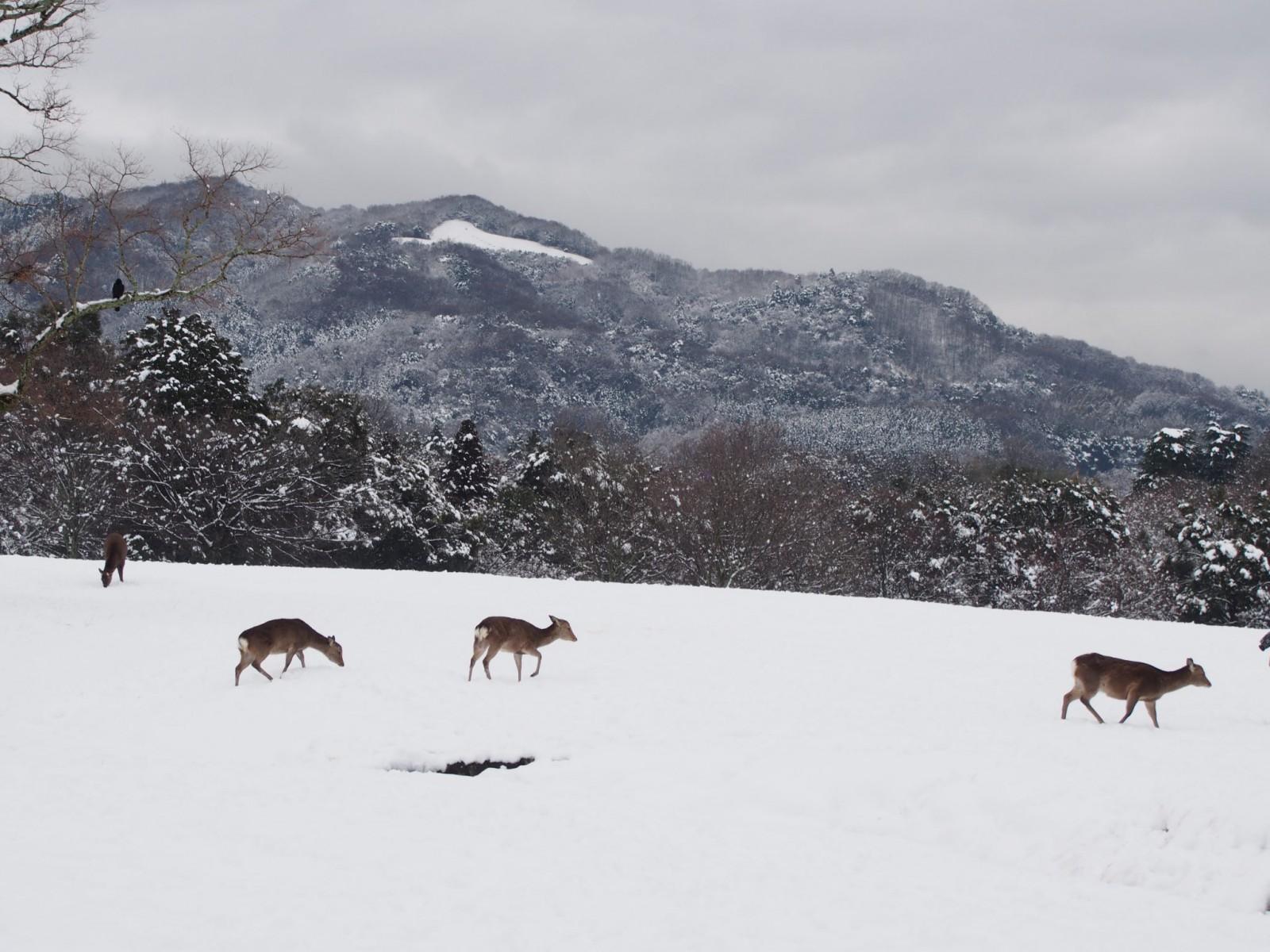 雪の飛火野に戯れる鹿と高円山