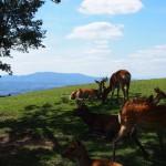 若草山頂の「鹿」