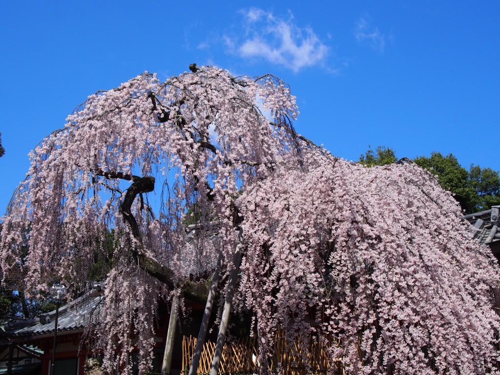 豪快な枝垂桜(氷室神社)