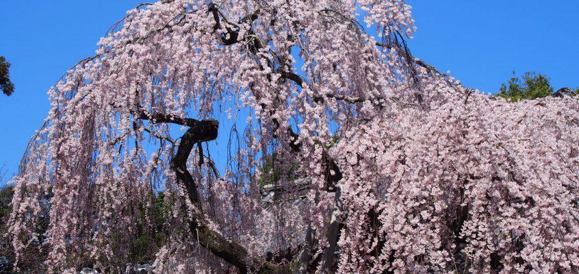 【氷室神社の枝垂桜】奈良の「一番桜」と呼ばれる存在は神社を包み込む