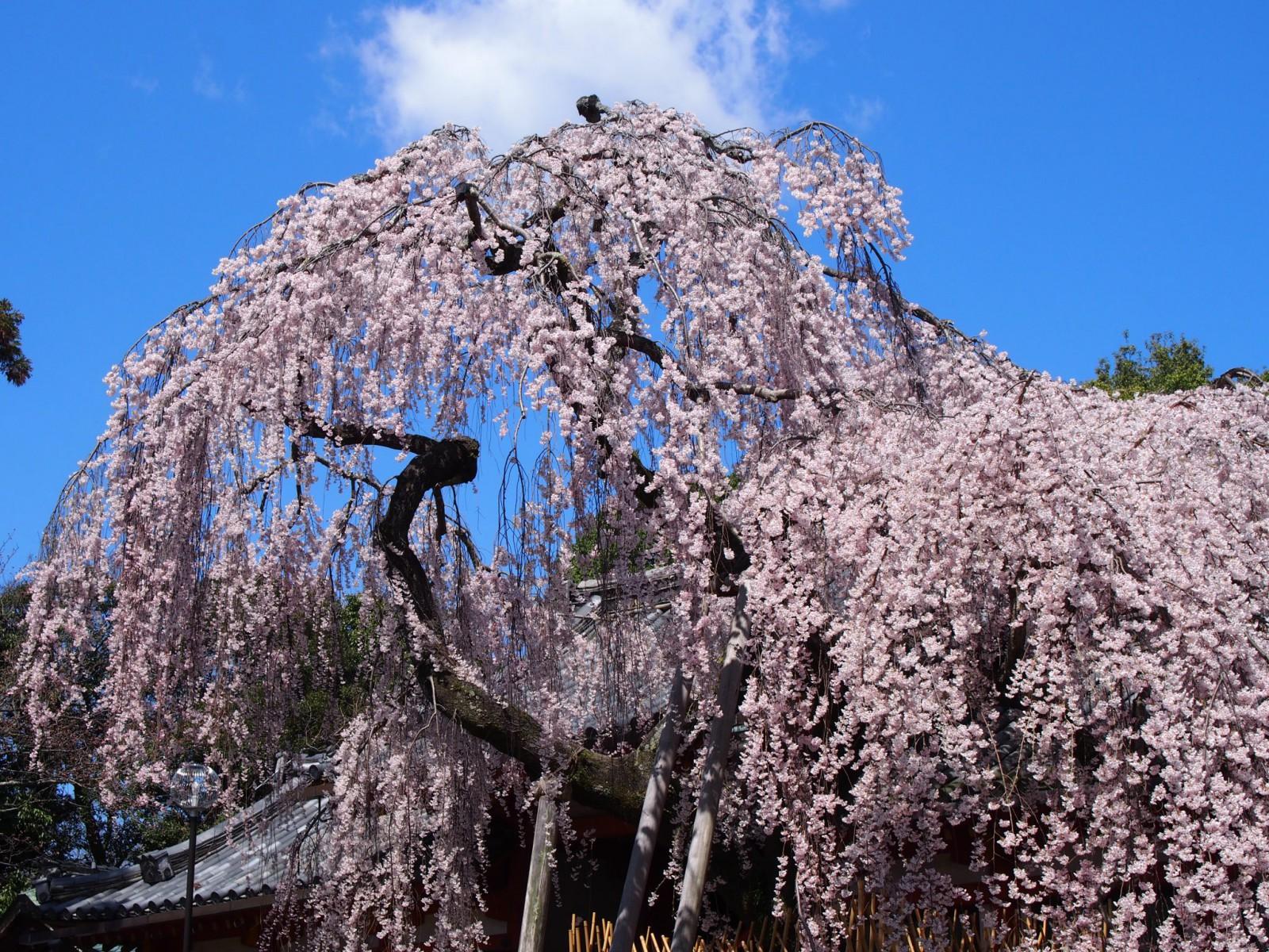 氷室神社の枝垂桜