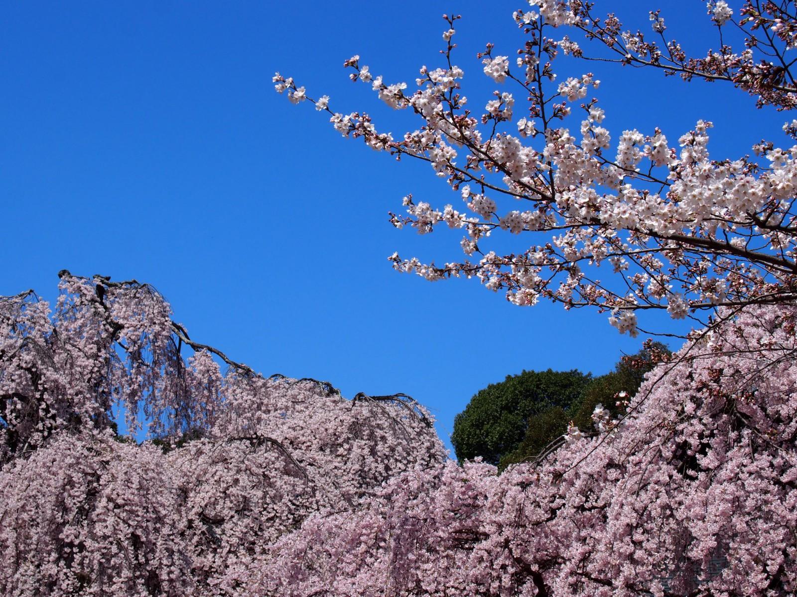 桜で埋め尽くされる氷室神社