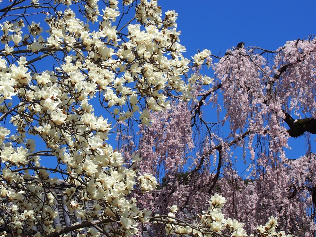 氷室神社のハクモクレン(白木蓮)と桜