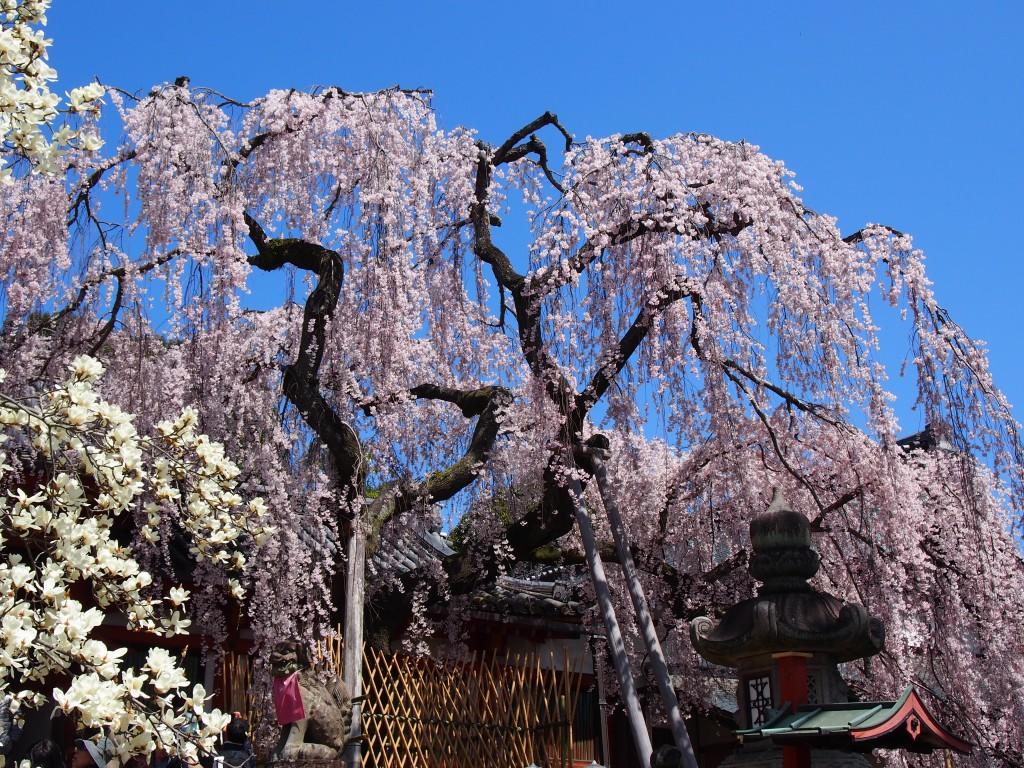 咲き誇る枝垂桜の古樹(氷室神社)