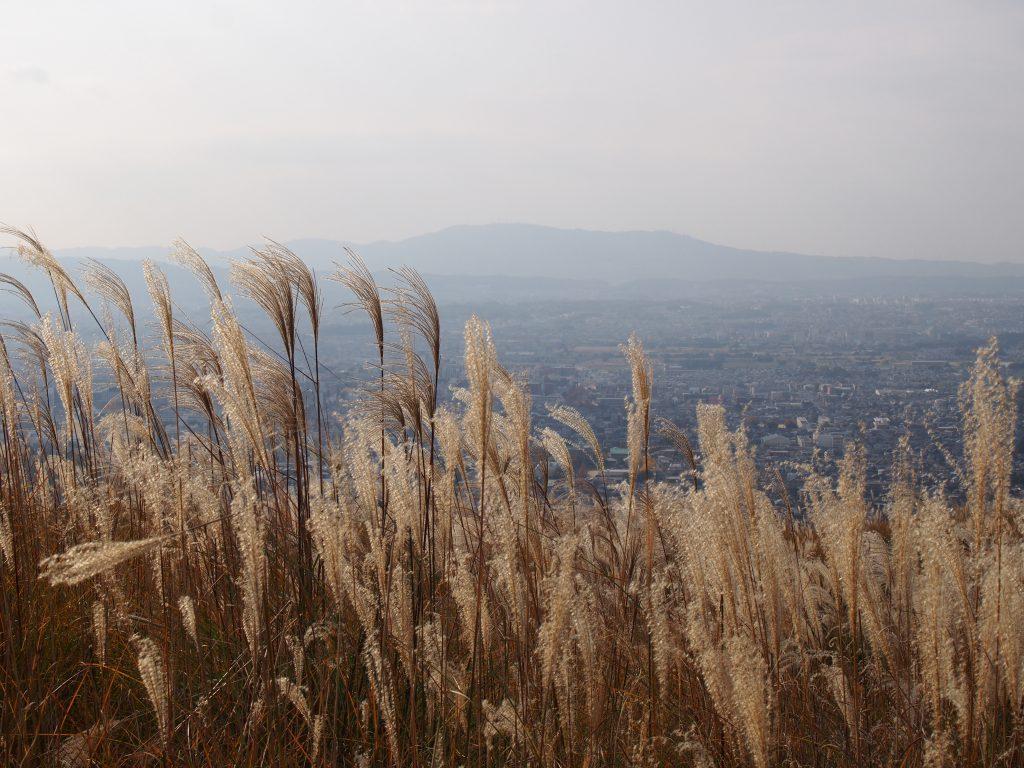 若草山のススキ