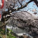 川路桜周辺(佐保川)