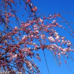 佐保川の桜並木(東端付近)