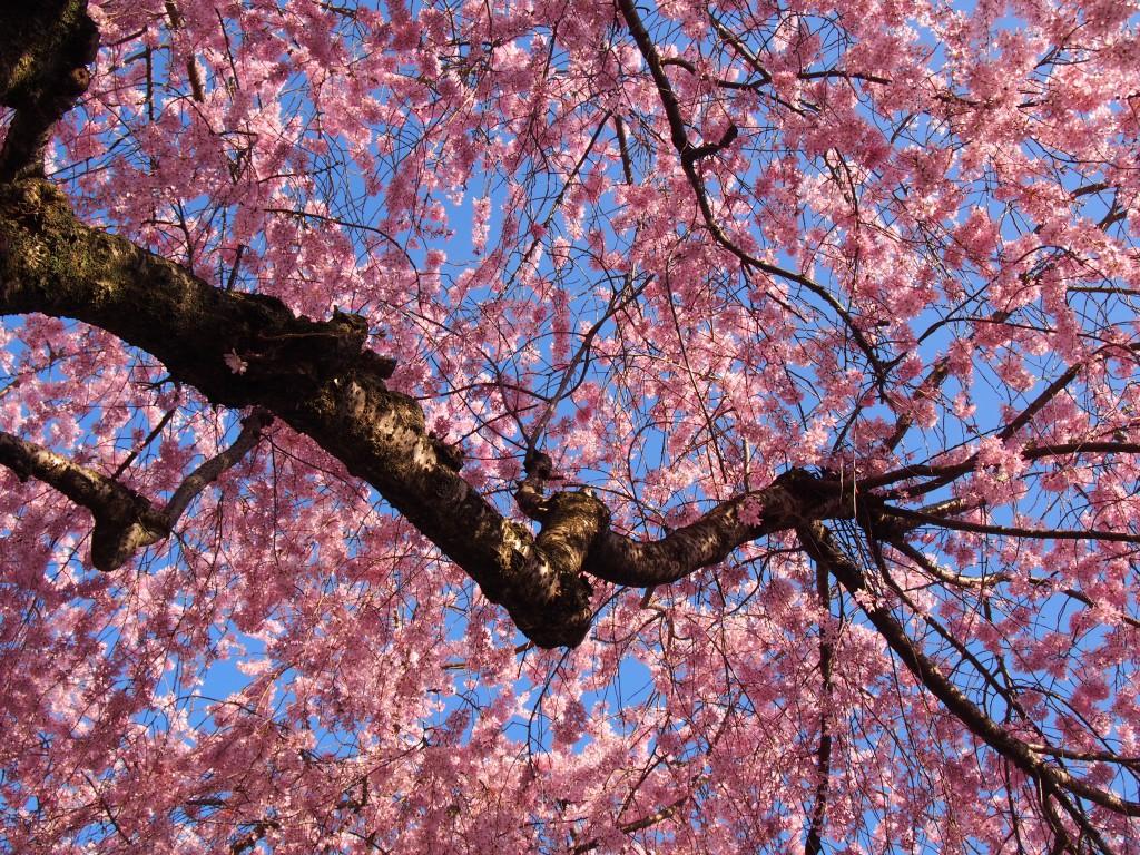 【大仏鉄道記念公園】「幻の鉄道」の駅跡は美しい桜の名所としても知られる