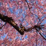 大仏鉄道記念公園の枝垂桜