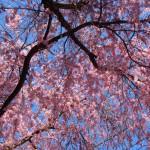 枝垂桜を下から眺める(大仏鉄道記念公園)