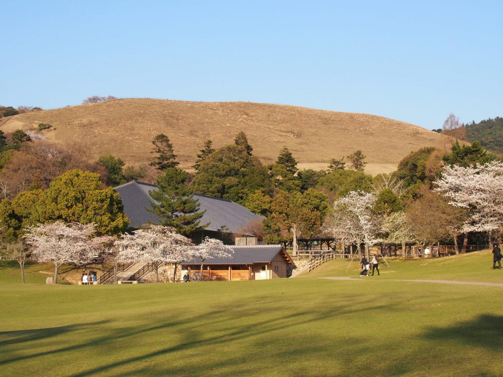 春日野園地の桜(若草山を望む)