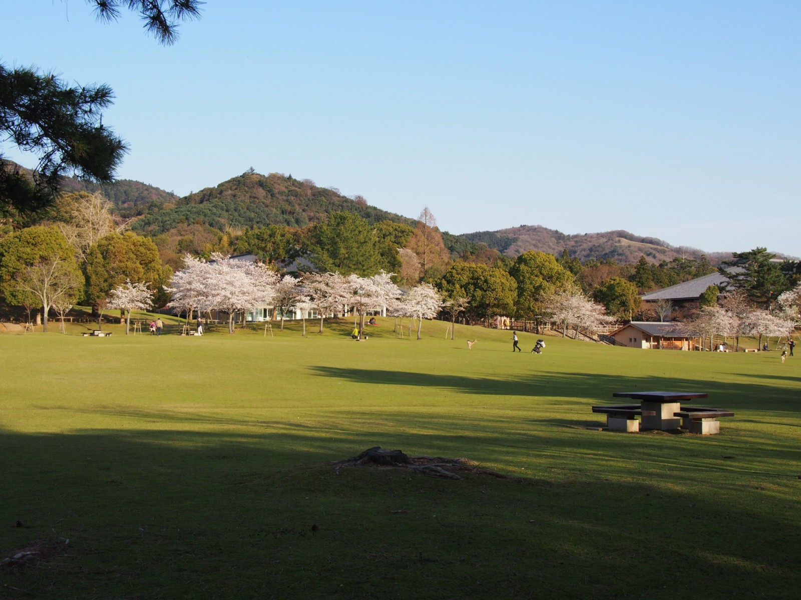 広々とした春日野園地(桜シーズン)