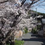 興福院に伸びる道沿い(桜)
