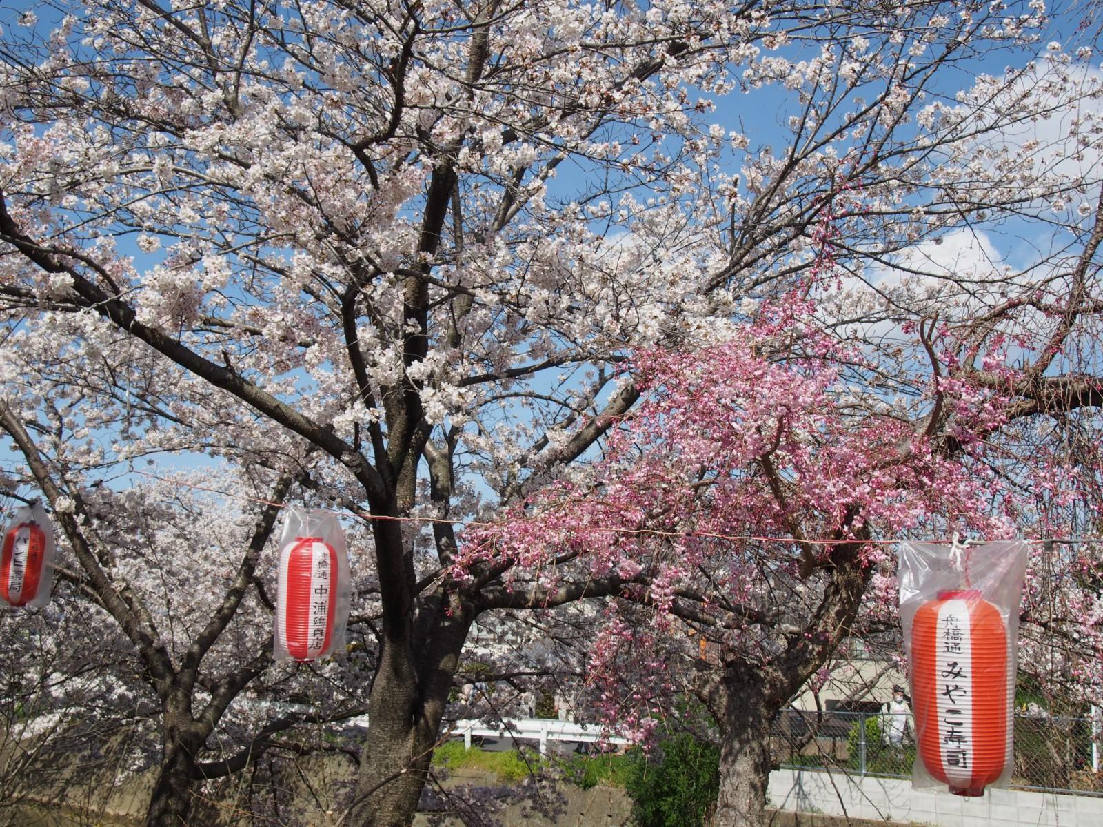 佐保川「桜祭り」会場周辺