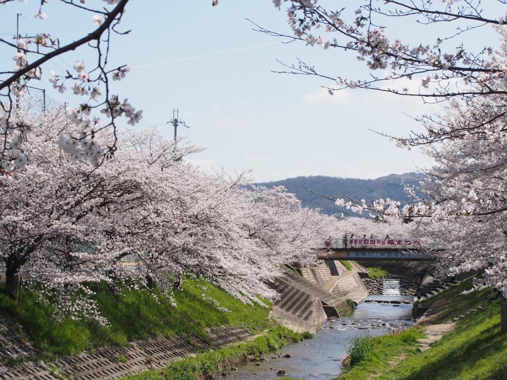 佐保川小学校周辺の桜並木