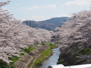【佐保川の桜並木】総延長は5キロ以上に及ぶ奈良市最大の「桜の名所」