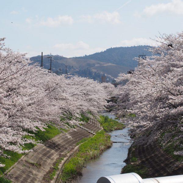 佐保川の桜並木(大宮橋)