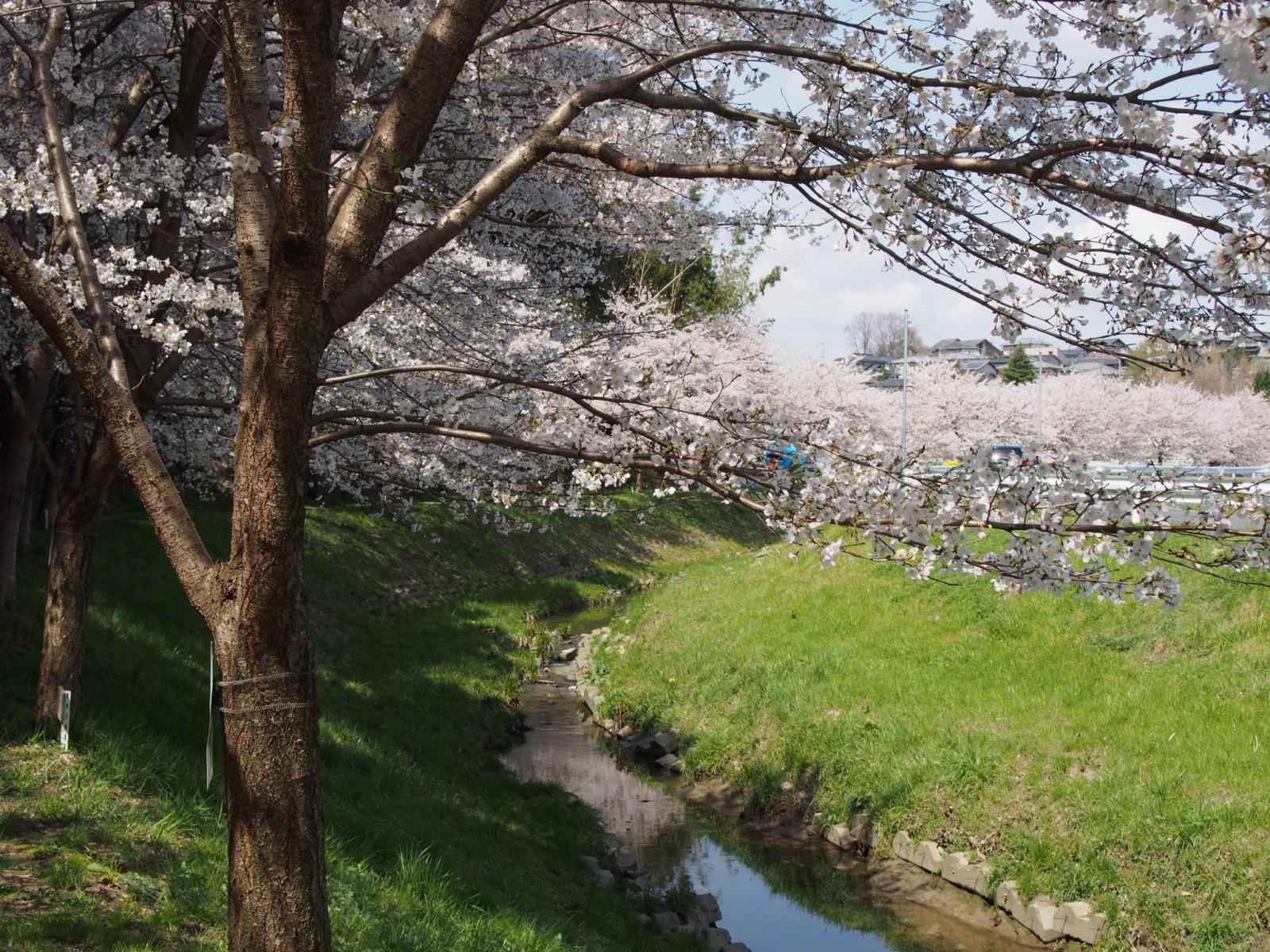 秋篠川の清流と桜並木