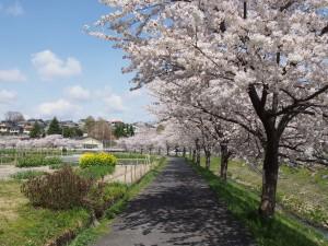 【穴場スポット】美しい桜が広がる「秋篠川の桜並木」ってどんなところ?ルートやアクセスを徹底解説!
