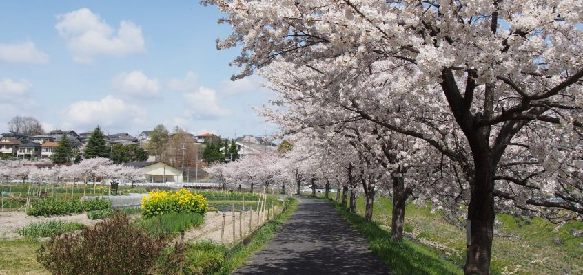 【秋篠川の桜並木】郊外を流れる小川沿いには1キロ以上に渡り美しい桜並木が広がる