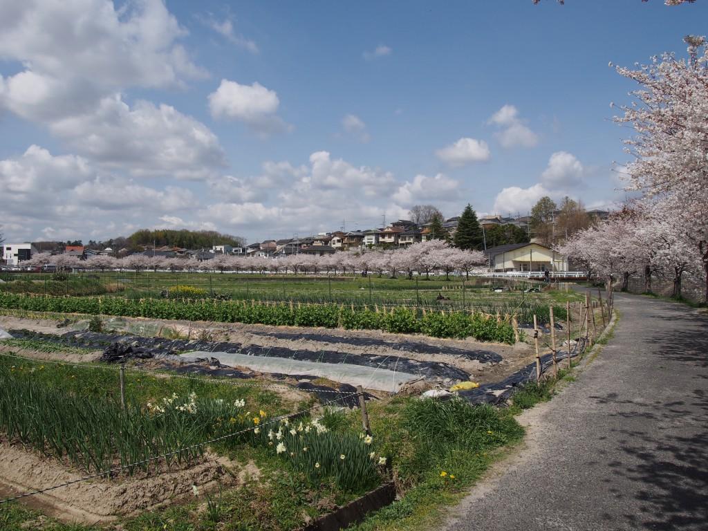 秋篠川の桜並木と田園風景