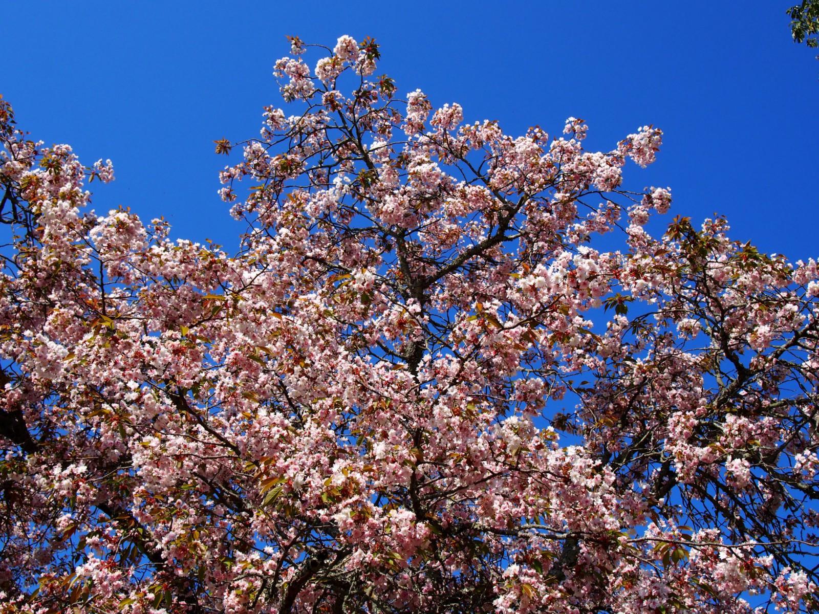 奈良九重桜(奈良公園・茶山園地)