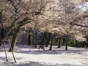 【奈良公園】桜のじゅうたんが楽しめる「若草山麓の九重桜(茶山園地)」ってどんなところ?【穴場スポット】