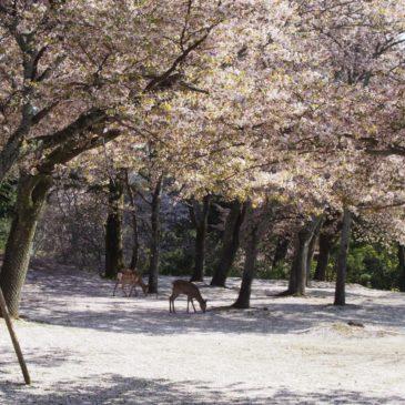 【茶山園地(奈良公園)】桜のじゅうたんが楽しめる「奈良九重桜」は隠れた見どころ