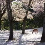 桜の花びらが積もった奈良公園内「茶山園地」