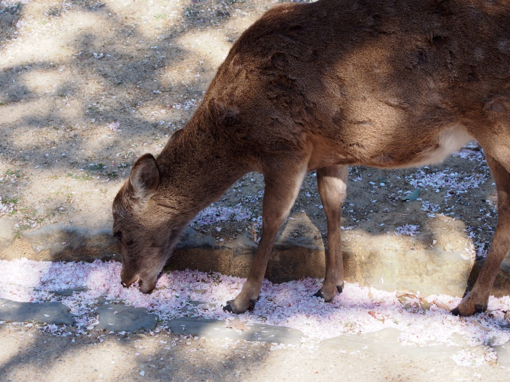 桜の花びらを食べる鹿