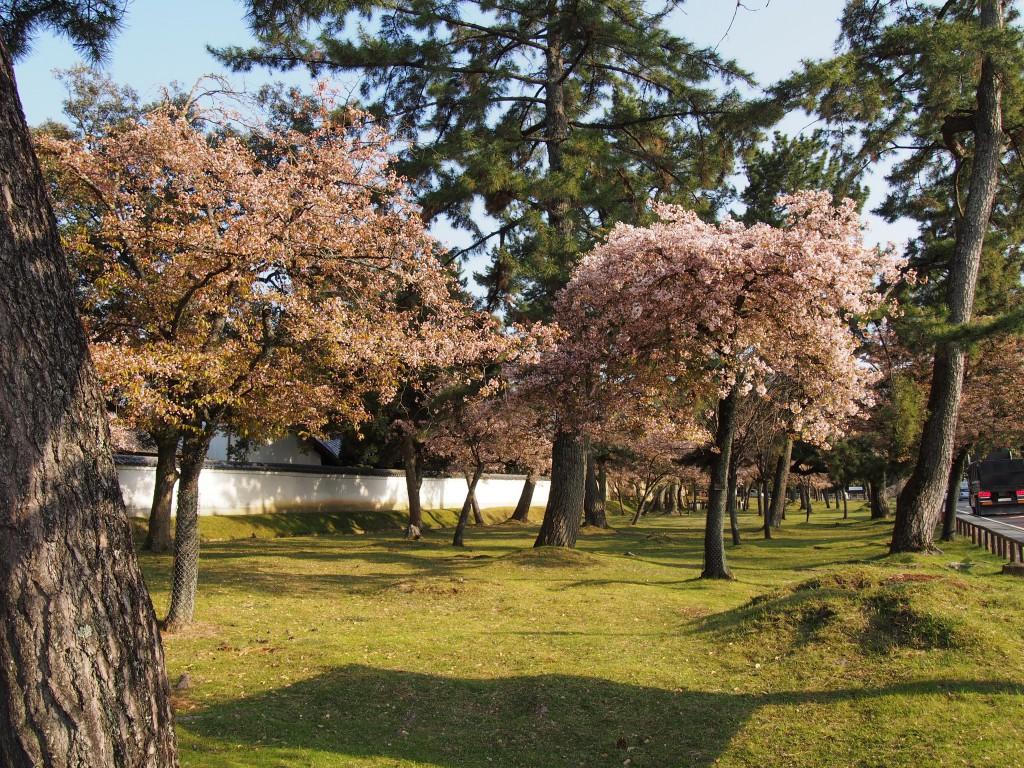 みとりい池園地の奈良九重桜
