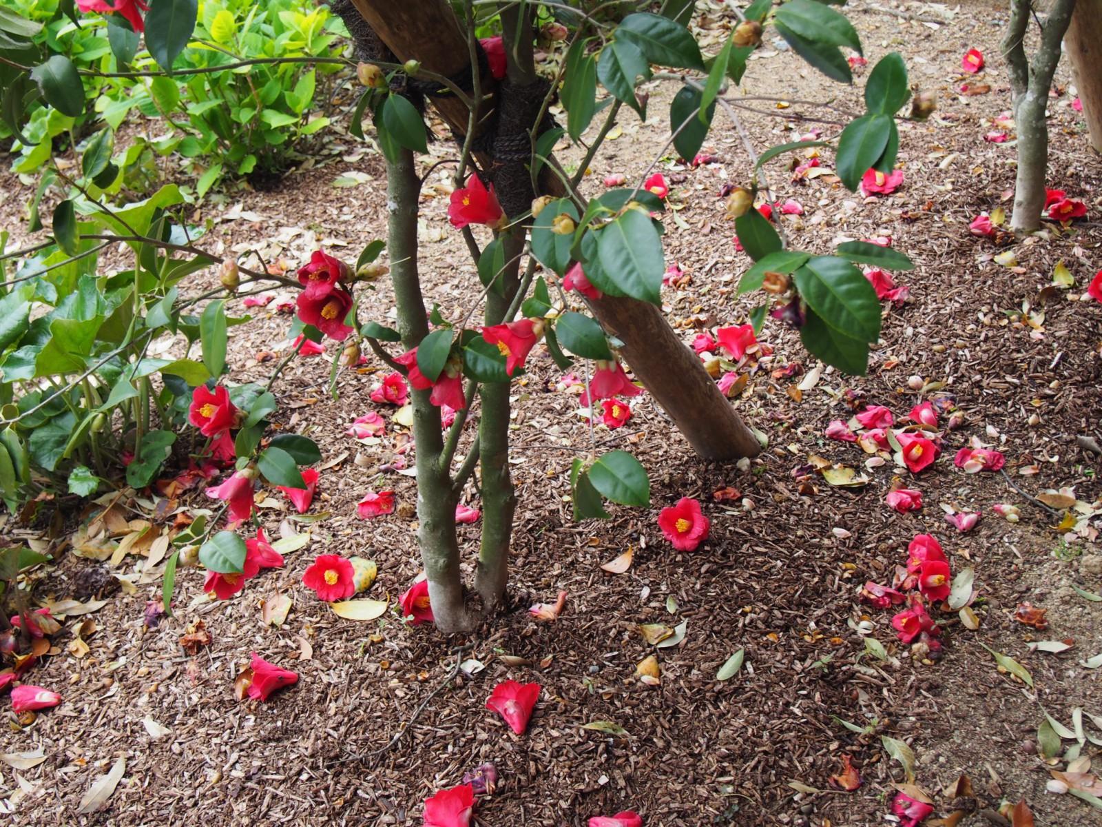 奈良春日野国際フォーラム甍(日本庭園)の椿
