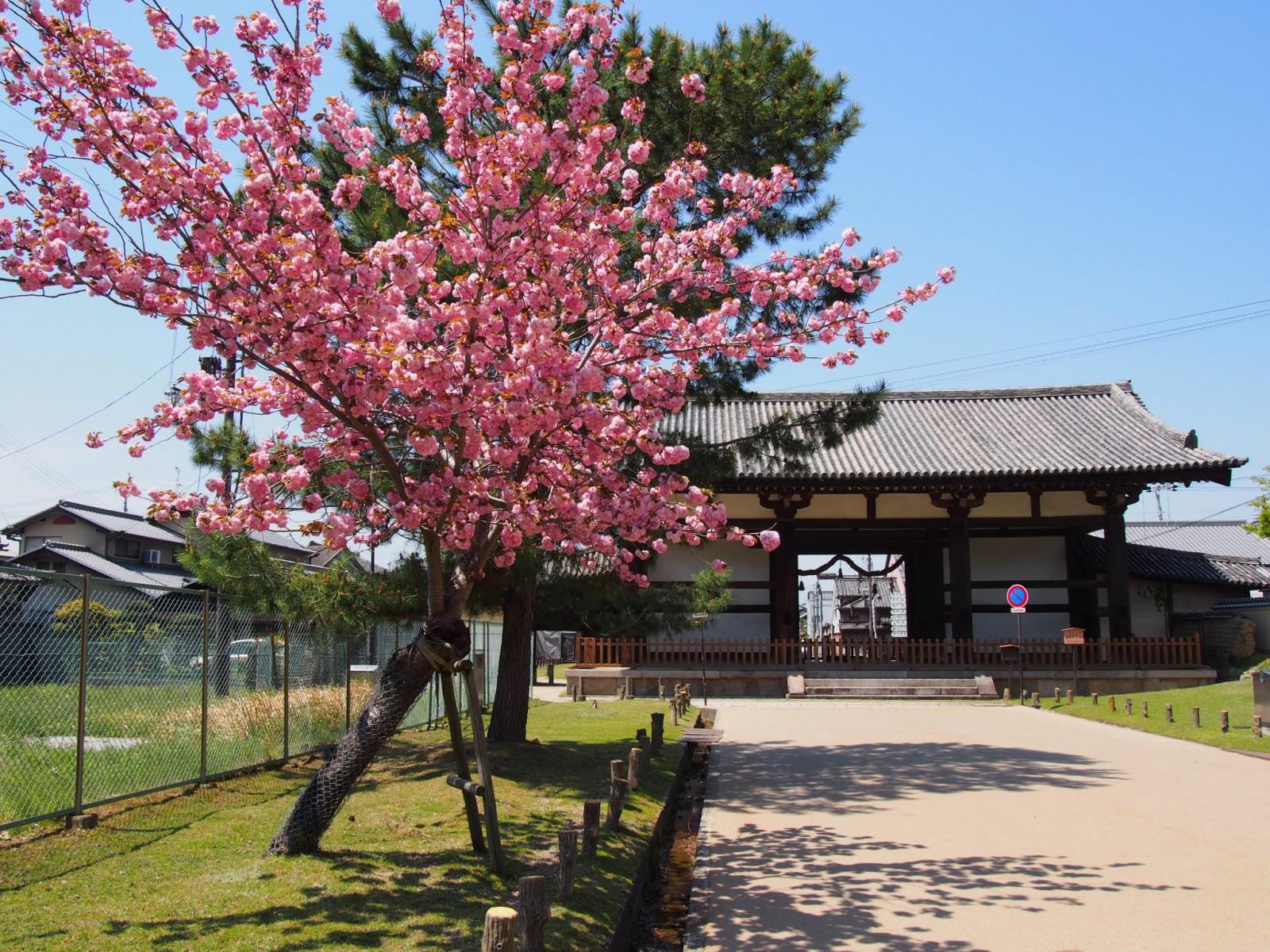 奈良八重桜と転害門