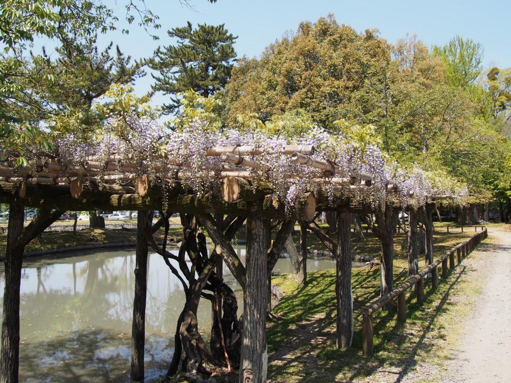 みとりい池園地の藤棚