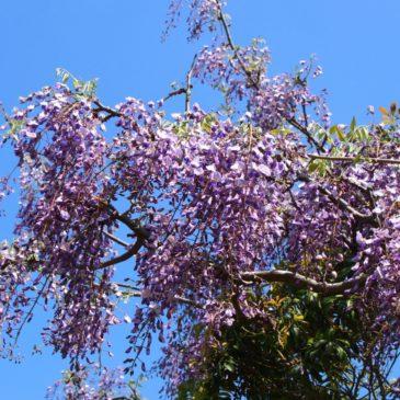 【奥飛火野】有名な「飛火野」の奥に広がる野生の藤などが美しい「秘境」
