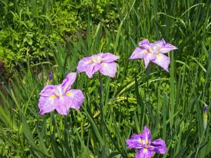 【柳生花しょうぶ園】美しい菖蒲に加えアジサイなども咲き誇る貴重な空間
