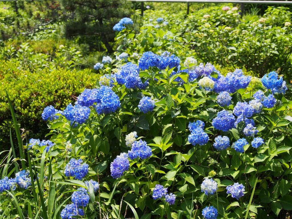柳生花しょうぶ園のあじさい