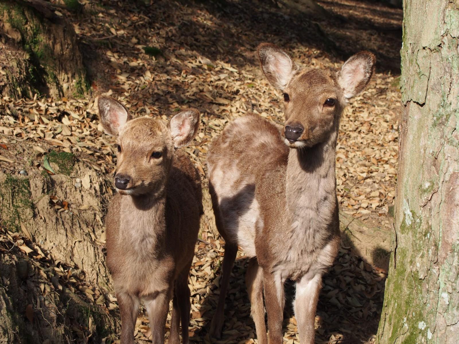 荒池園地で出会った鹿たち