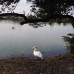 白鳥もいる水上池