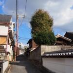 奈良市の保存樹(イチョウ)