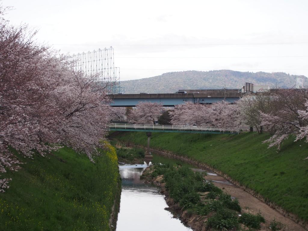 佐保川の桜並木(下流側)