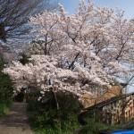 元興寺小塔院の桜