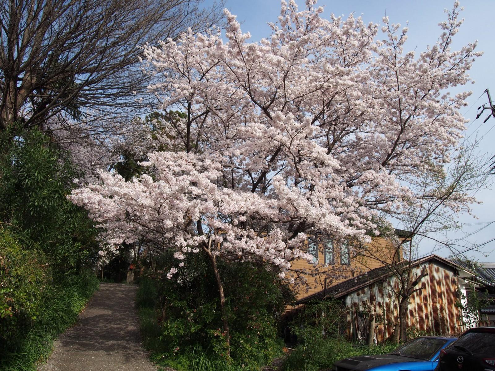 元興寺小塔院跡の桜