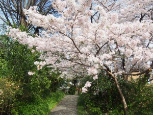 【ならまち】桜が美しい穴場スポット「元興寺小塔院跡」ってどんなところ?【裏庭】