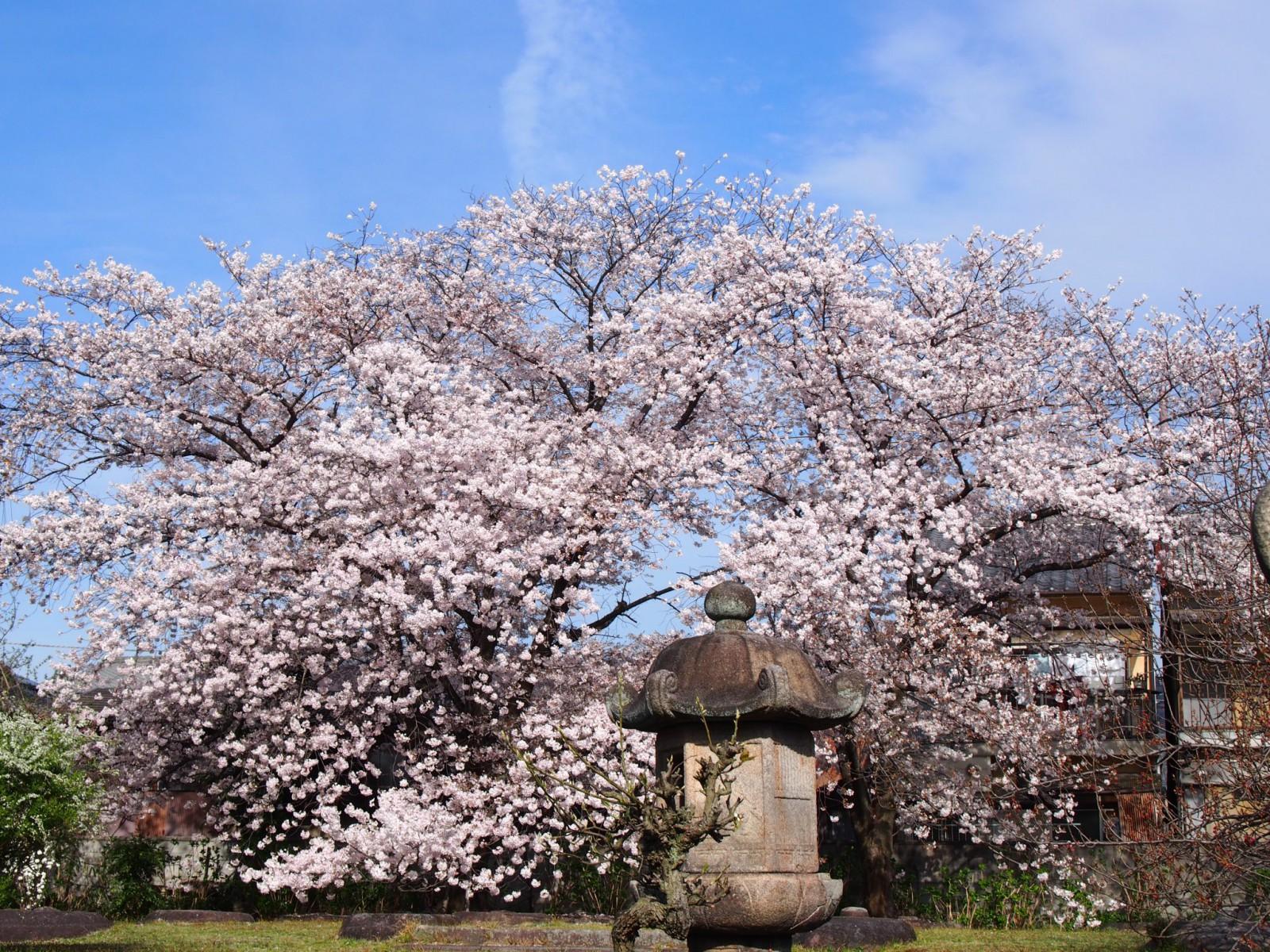 元興寺塔跡の桜