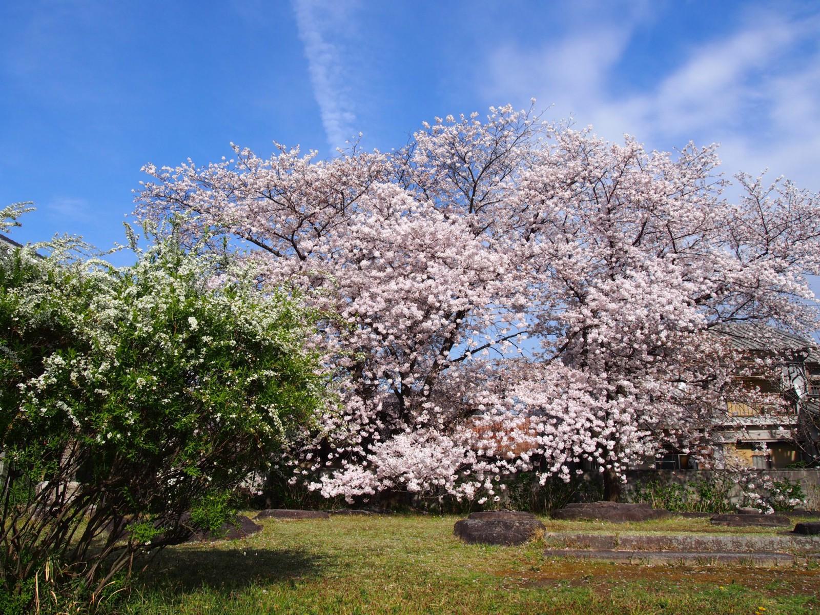 隠れた桜の名所「元興寺塔跡」