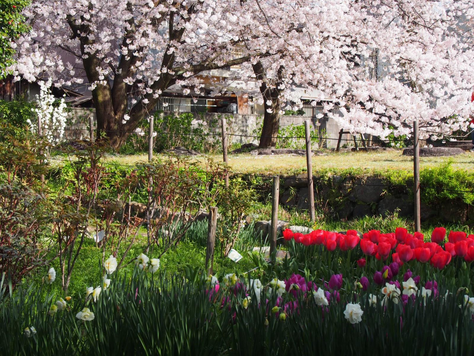 元興寺塔跡のチューリップ畑と桜の共演