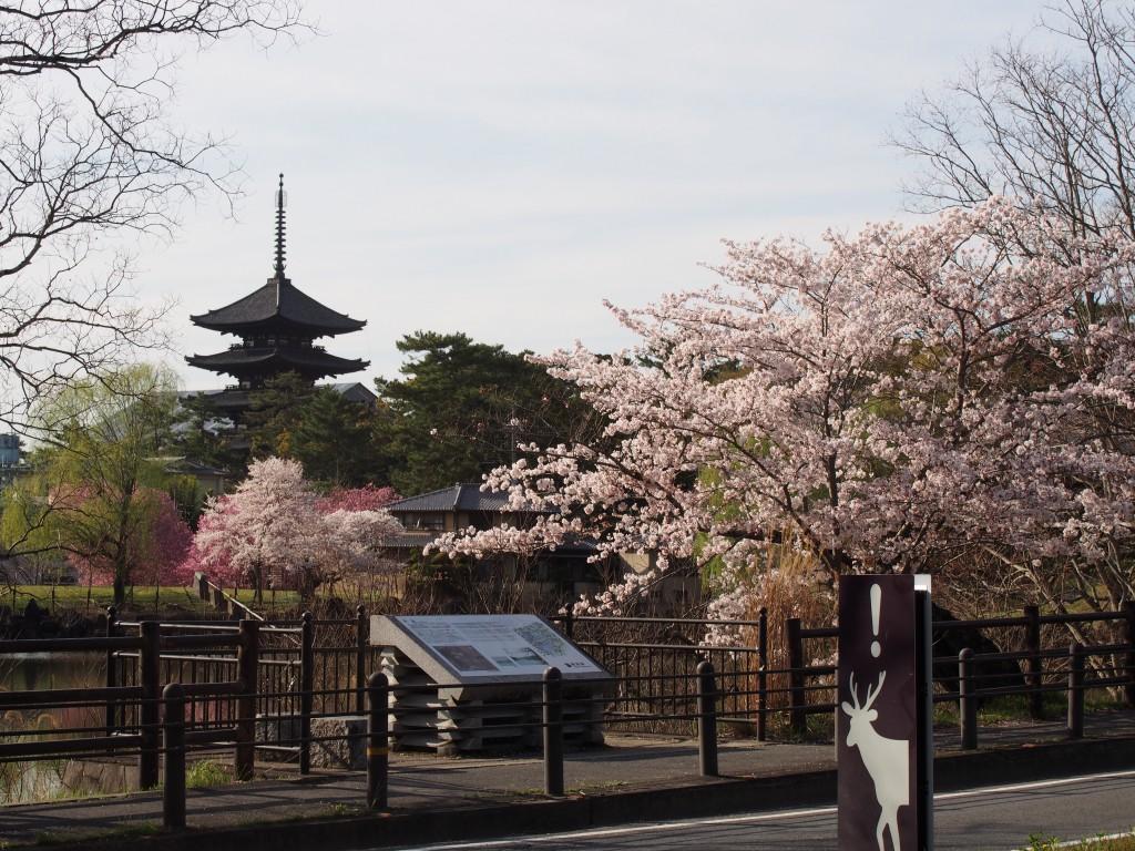 荒池園地周辺(国道沿い)の桜並木