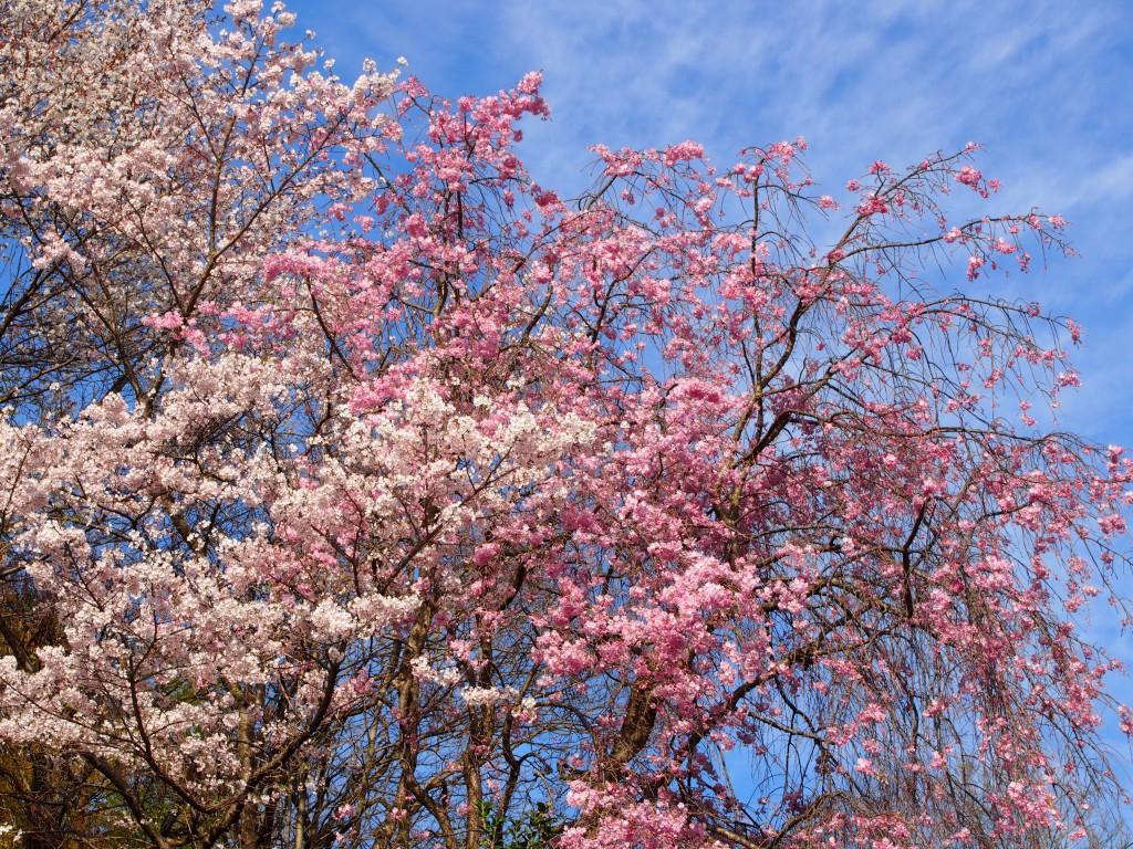 奈良町天神社周辺の「桜」
