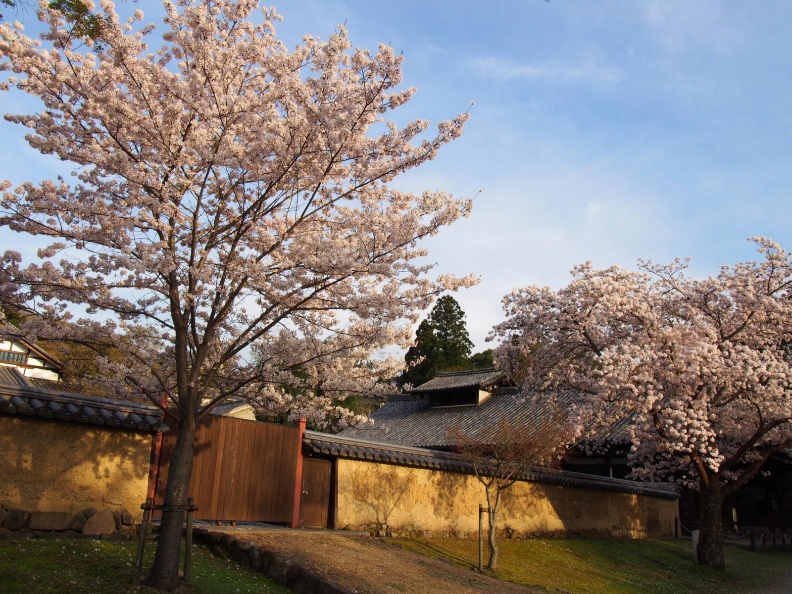 大湯屋の前に咲く桜